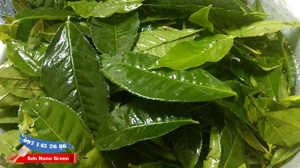 Lá trà xanh khử mùi sơn nhà rất tốt đấy nhé | SonNanoGreen.com